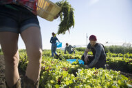 Male farmer harvesting lettuce in vegetable garden on sunny farm - HEROF20902