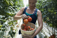 Woman holding bushel of fresh, ripe harvested red tomatoes at tomato plant in greenhouse - HEROF21838