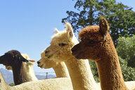 Alpacas at sunlight - ECPF00490