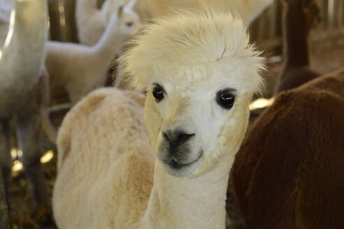 Portrait of young alpaca at stable - ECPF00505