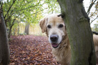 Portrait of Golden Retriever in autumnal nature - MAMF00423