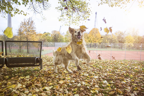 Golden Retriever playing with autumn leaves - MAMF00426