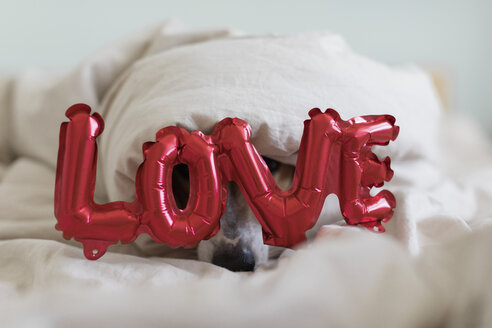 Dog on bed with love foil balloon, under blanket - JPF00357