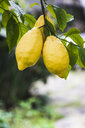 Lemons growing on tree, Italy - FLMF00139