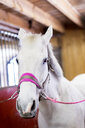 Close-up portrait of white horse in stable - ASTF03354