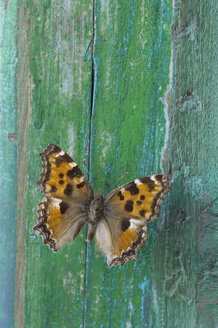 Butterfly on flaking green wood - CRF02831