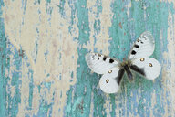 Butterfly on flaking turquoise wood - CRF02834