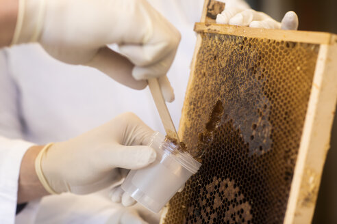 Lab technician removing honey from honeycomb in lab - SGF02289