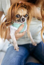 Portrait of Chihuahua puppy with with  owner's hair as a wig - MGOF03952