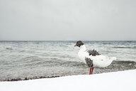 Grey goose, Anser anser, at Lake Starnberg in winter - WFF00001
