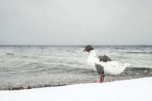 Grey goose, Anser anser, at Lake Starnberg in winter - WFF00001