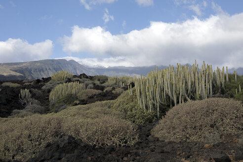 Spain, Tenerife, Malpais de Guimar, cacti growing in volcanic landscape - PSTF00305