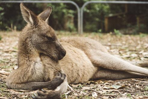 Close-up of kangaroo resting on field - CAVF60709