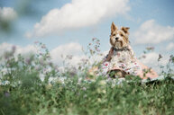 Teenage girl with Yorkshire Terrier lying on field against sky during sunny day - CAVF60781
