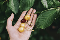 Cropped hand of man holding fresh cherries by wet leaves in garden - CAVF60908