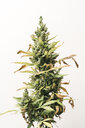 Close-up of cannabis plant growing against white background - CAVF60926