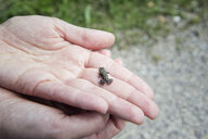 Close-up of woman holding young European toad in hand - MAMF00445