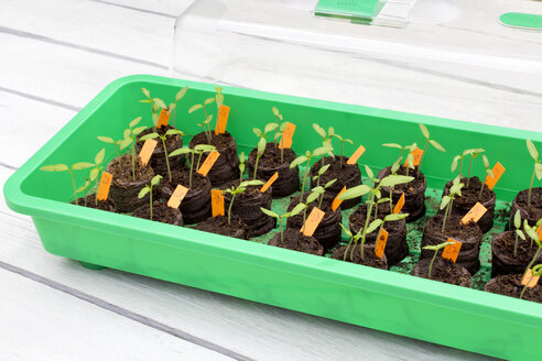 Tomato seedlings in mini greenhouse - CSF29317