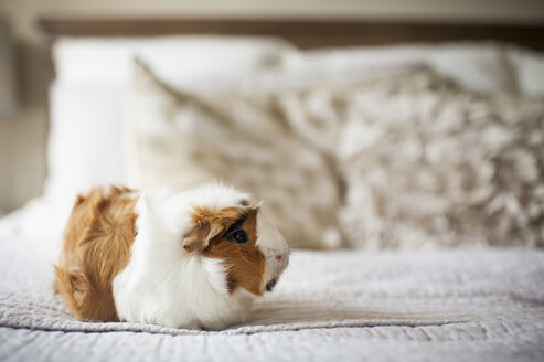 Close-up of guinea pig on bed at home - CAVF61132