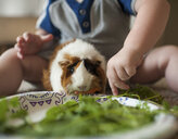 Close-up of baby boy feeding plants to guinea pig at home - CAVF61135