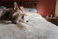 Dog looking away while lying on bed at home - CAVF61225