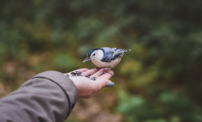 Cropped hand of girl feeding seeds to white breasted nuthatch in forest - CAVF61760