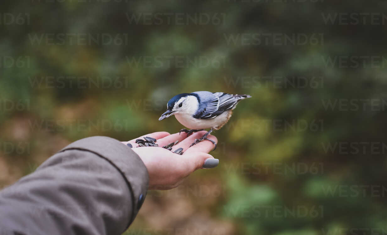 Cropped hand of girl feeding seeds to white breasted nuthatch in forest - CAVF61760 - Cavan Images/Westend61