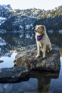 Golden Retriever looking away while sitting on rock in lake against mountain during winter - CAVF61775