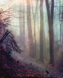 Crows on forest path in autumn, daybreak - DWIF00978
