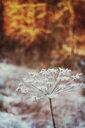 Dried frozen ground elder - DWIF00994