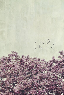 Magnolia tree flowering and flying birds, textured effect - DWIF00997