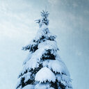 Snow covered fir tree - DWIF01000
