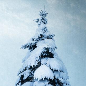 Snow covered fir tree - DWIF01000