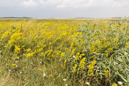 Austria, Burgenland, Nationalpark Neusiedler See, Seewinkel, wild flowers on field - AIF00591