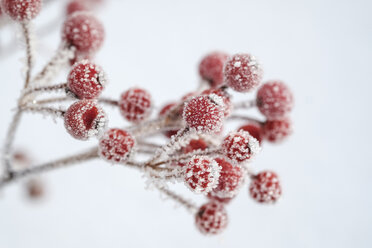Red berries of common holly, Ilex aquifolium in winter, frost-covered - LBF02406