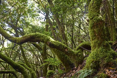 Spain, Canary Islands, La Palma, Cumbre Vieja, Laurel forest - BSCF00597