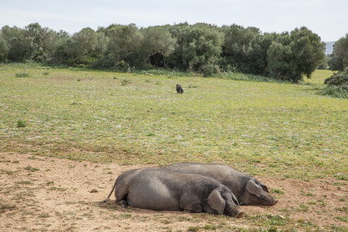 Spain, Mallorca, pigs laying on meadow - JMF00434