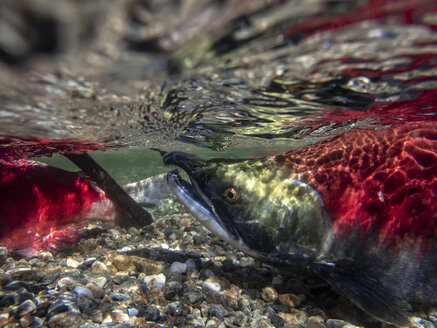 California, British Columbia, Adams River, Sockeye salmon, Oncorhynchus nerka - GNF01434