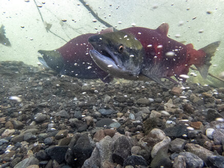 California, British Columbia, Adams River, Sockeye salmons, Oncorhynchus nerka - GNF01440