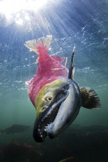 California, British Columbia, Adams River, Sockeye salmon, Oncorhynchus nerka - GNF01449