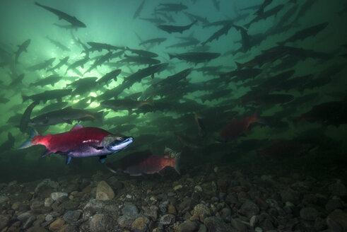 California, British Columbia, Adams River, Sockeye salmons, Oncorhynchus nerka - GNF01455
