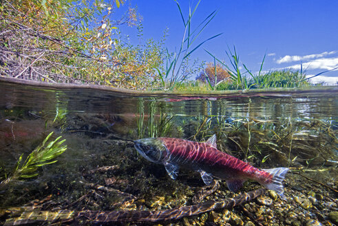 California, British Columbia, Adams River, Sockeye salmon, Oncorhynchus nerka, over-under image - GNF01458