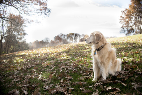 Hairy Golden Retriever looking away while sitting on field with dry leaves in park during autumn - CAVF62941
