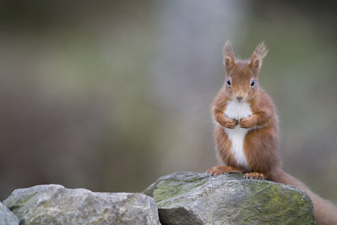 Red squirrel, Sciurus vulgaris, sitting on stone - MJOF01680