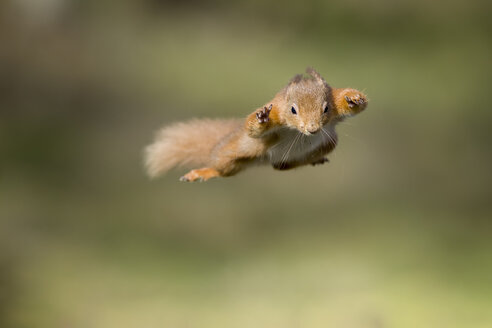 Red squirrel, Sciurus vulgaris, jumping - MJOF01683