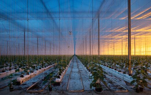 Growing bell peppers in modern dutch greenhouse, Zevenbergen, Noord-Brabant, Netherlands - CUF49564