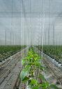 Growing bell peppers in modern dutch greenhouse, Zevenbergen, Noord-Brabant, Netherlands - CUF49567