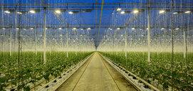 Growing bell peppers in modern dutch greenhouse, Zevenbergen, Noord-Brabant, Netherlands - CUF49588