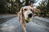 Close-up of Golden Retriever carrying ball in mouth while walking on footpath against trees in park - CAVF63125