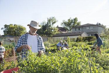Senior man tending to community vegetable garden - HEROF28414